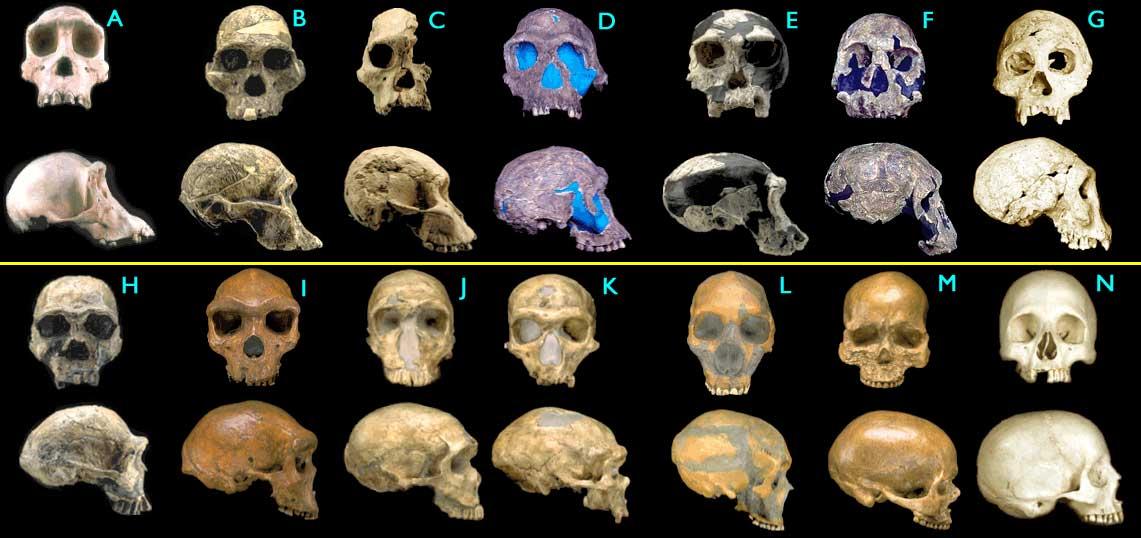 hominids2_big1.jpg